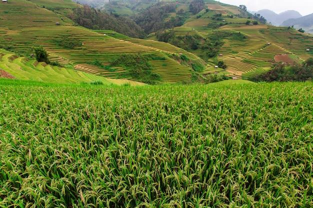 Champs de riz sur terrasse en saison des pluies à mu cang chai, yen bai