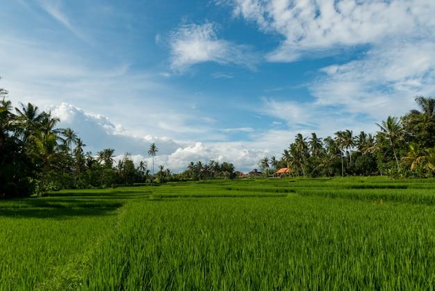 Champs de riz à ubud