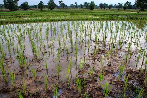 Champs et semis de riz