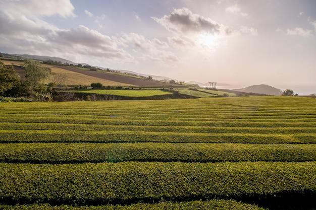 Champs de thé gorreana