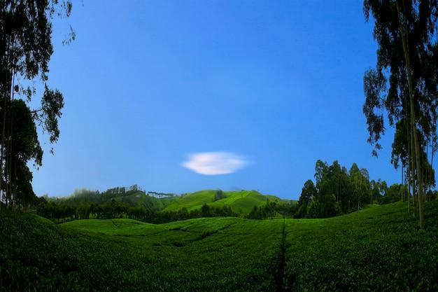 Champs de thé panoramiques