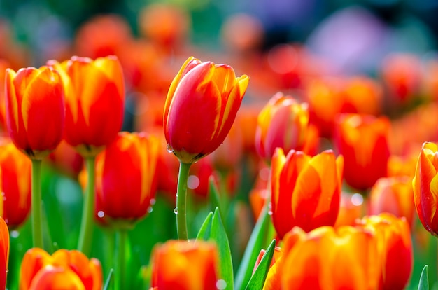Les champs de tulipes jaunes rouges sont en pleine floraison