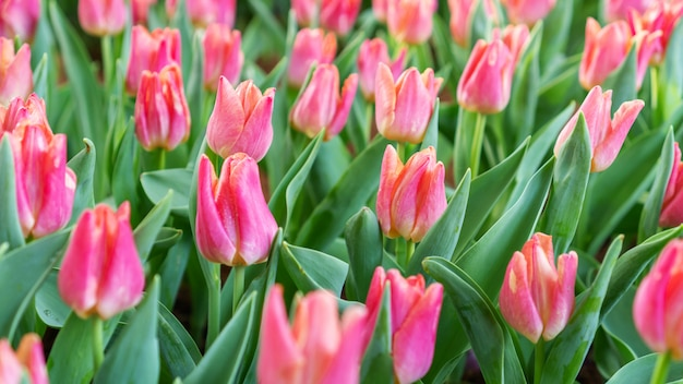 Champs de tulipes roses dans un jardin fleuri.