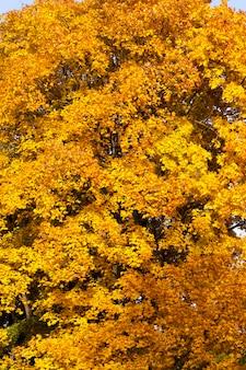 En changeant la couleur de l'érable à l'automne, le feuillage de l'érable est endommagé et tombera