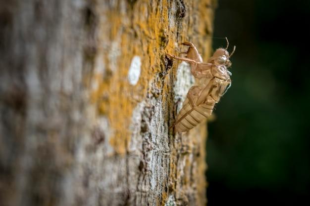 Changement de corps de cigale d'insecte