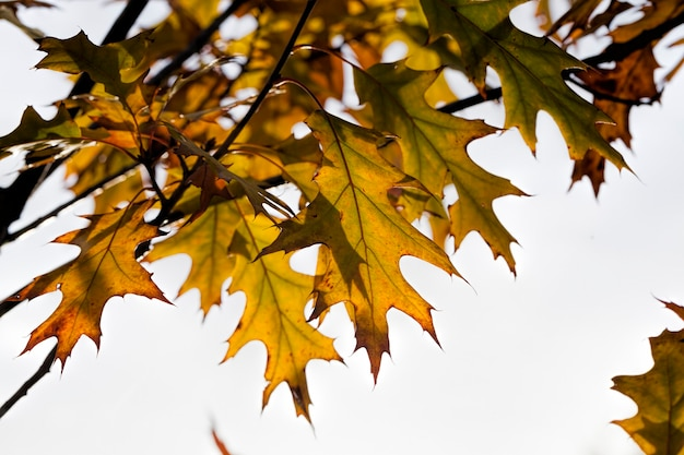 Changement de couleur du chêne à l'automne, le feuillage du chêne est endommagé et tombera, les arbres à feuilles caduques y compris le chêne avant la chute des feuilles, gros plan