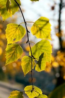 Changement de la couleur du feuillage des arbres à l'automne, les feuilles par temps ensoleillé sont jaune-vert