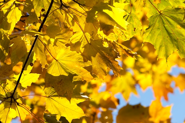 Changement de la couleur de l'érable à feuillage par temps ensoleillé dans le parc, détails de l'automne nature gros plan
