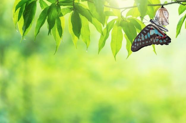 Changement de papillon chrysalis