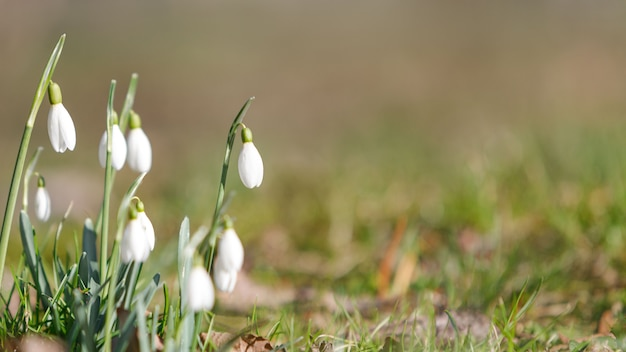 Changement de saison dans la nature, au printemps. perce-neige délicat en fleurs - galanthus nivalis en journée ensoleillée, soft focus