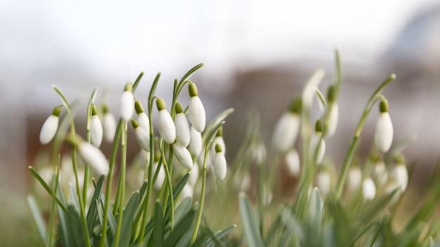Changement de saison dans la nature, au printemps. perce-neige délicat en fleurs - galanthus nivalis en journée ensoleillée