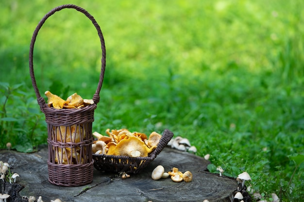 Chanterelles de champignons frais dans des paniers en papier respectueux de l'environnement sont sur une souche dans la forêt