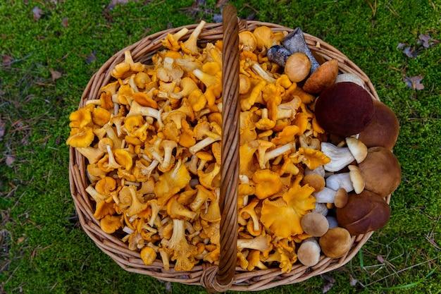 Chanterelles fraîchement cueillies et champignons blancs dans un panier en osier dans une clairière forestière