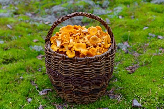 Chanterelles fraîchement cueillies dans un panier en osier dans une clairière forestière