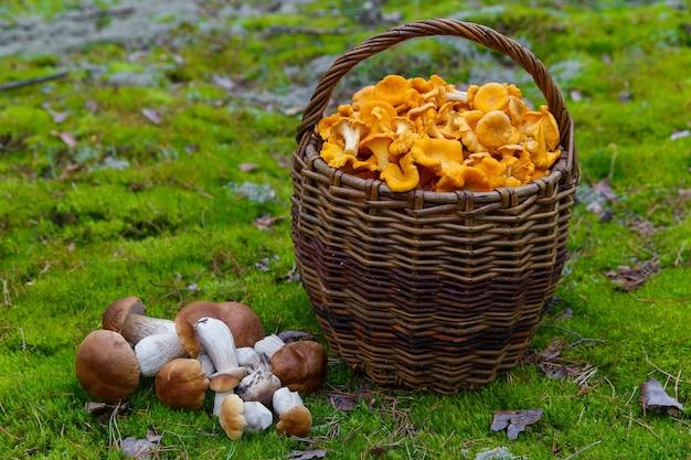 Chanterelles fraîchement cueillies dans un panier en osier dans une forêt clairière de champignons blancs