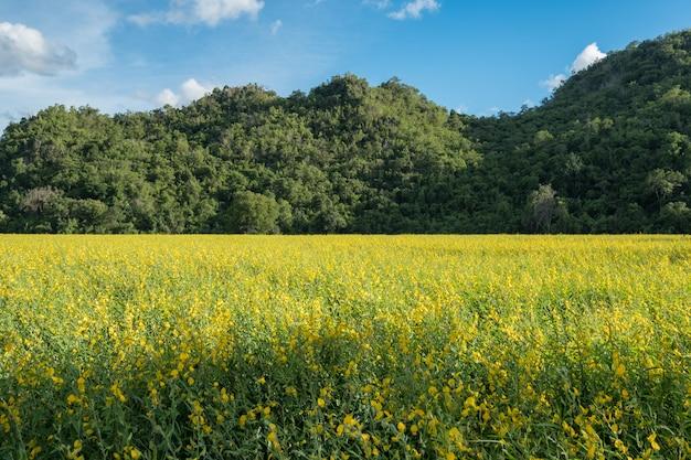 Chanvre indien, chanvre indien, crotalaria juncea jaune fleur en champ avec montagne