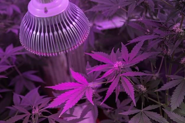 Le chanvre pousse sous la lumière des lampes ultraviolettes.