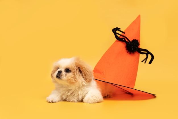 Chapeau d'halloween mignon chiot moelleux isolé sur fond jaune studio carte halloween