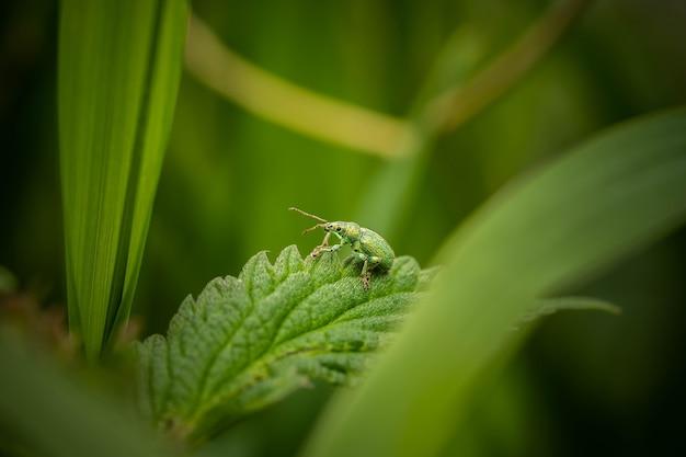Charançon vert sur une feuille, jour d'été