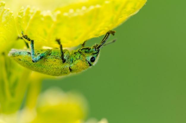 Charançon vert ou hypomeces squamosus, insecte jaune verdâtre se cachant du soleil sous les feuilles, qui ont une couleur similaire à celle-ci.