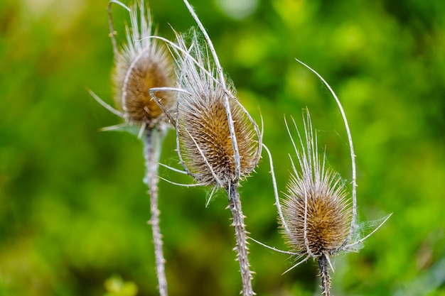 Chardon des plantes sauvages dans le domaine, flou.