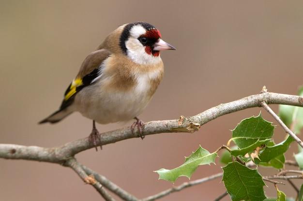 Chardonneret élégant, oiseaux, oiseaux chanteurs, animal, percher, carduelis carduelis