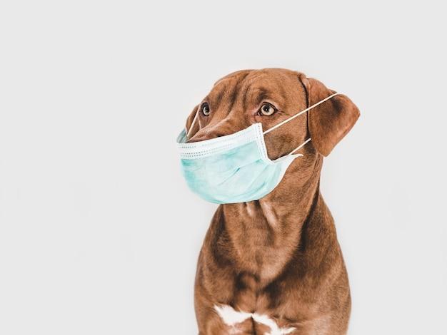 Charmant, adorable chiot brun tenant un masque médical.
