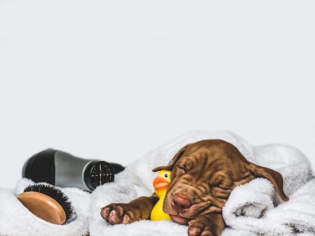 Charmant et adorable chiot de couleur brune. gros plan, intérieur. lumière du jour. concept de soins, éducation, formation à l'obéissance, élevage d'animaux de compagnie