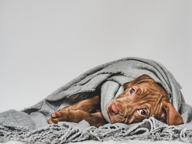Charmant et adorable chiot de couleur brune. gros plan, intérieur. photo de studio. concept de soins, éducation, formation à l'obéissance, élevage d'animaux de compagnie