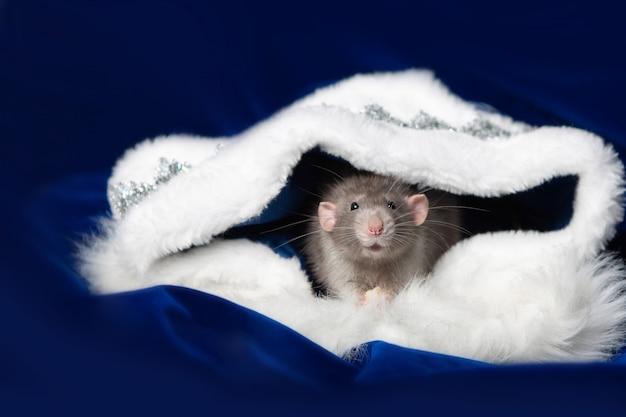 Charmant animal de compagnie. rat décoratif dumbo dans une maison en fourrure blanche