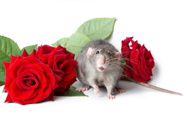 Charmant rat dumbo sur fond blanc isolé à côté de roses rouges fraîches.