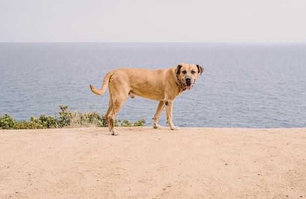 Chasse au chien de race cimarron uruguayen dans le domaine concept de chasse au gros gibier