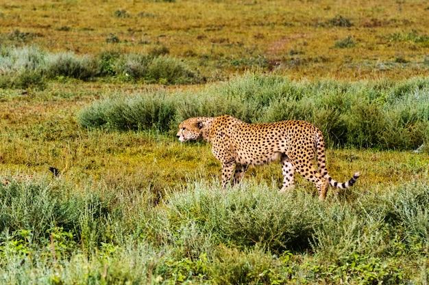 La chasse au guépard à ndutu, serengeti, tanzanie