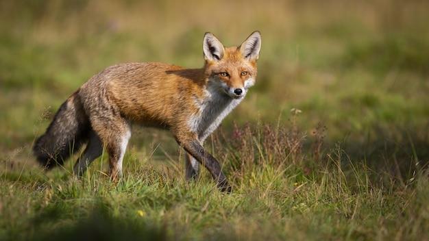 Chasse au renard roux active sur le pré vert en automne nature avec copie espace