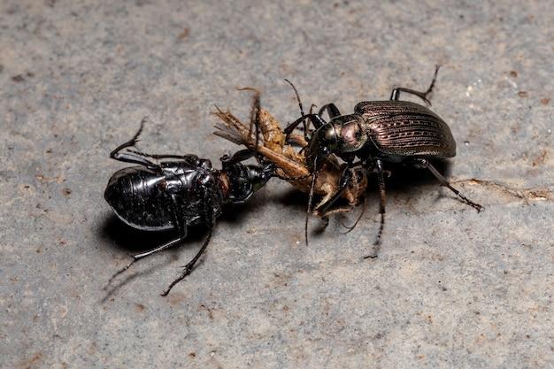 Chasseur de chenilles adultes coléoptères de l'espèce calosoma alternans contestant la prédation d'une sauterelle