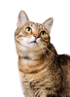 Chat adulte maison tabby lève les yeux isolé.