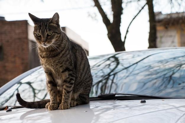 Chat au-dessus d'une voiture