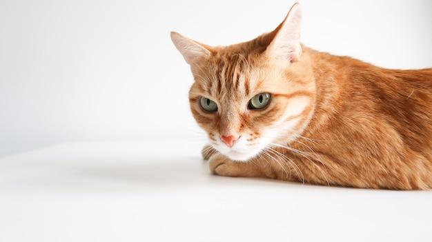 Chat au gingembre allongé sur une table. chat mignon aux yeux verts. chez le vétérinaire. espace pour le texte