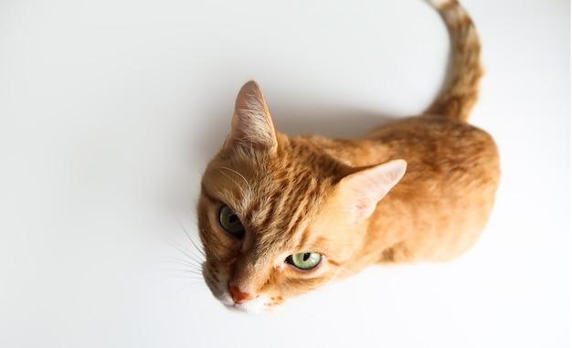 Chat au gingembre assis et levant les yeux.
