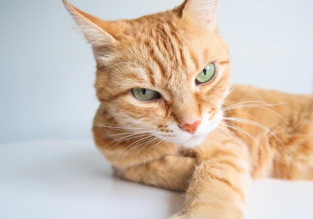 Chat au gingembre couché et regardant sérieusement