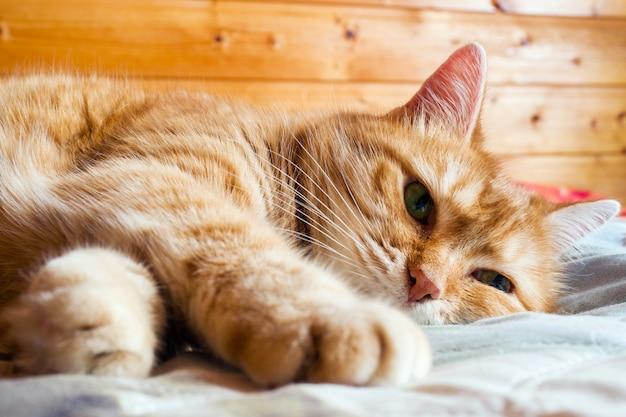 Chat au gingembre sur le lit dans une couverture
