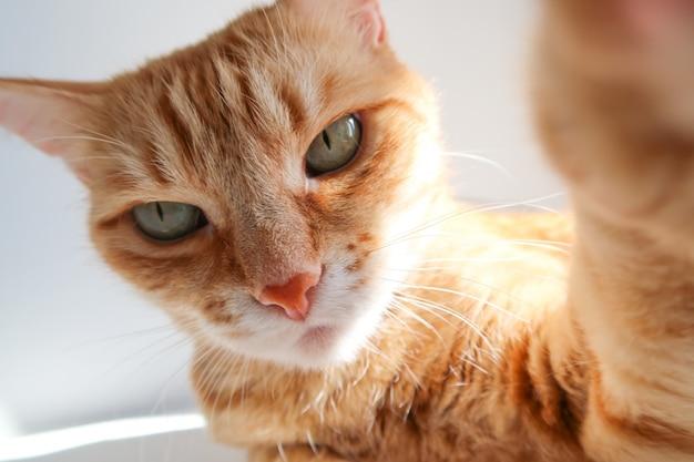 Chat au gingembre prenant un selfie et regardant sérieusement.