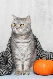 Le chat aux yeux jaunes est assis près de la citrouille recouverte de plaid