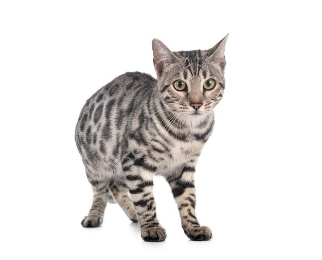 Chat bengal devant blanc