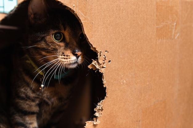 Chat bengal domestique assis dans une boîte en carton et en ressortant.