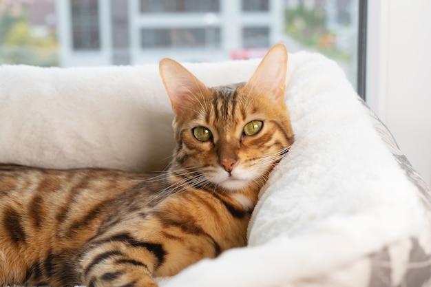 Un chat bengal se trouve dans un lit de chat.