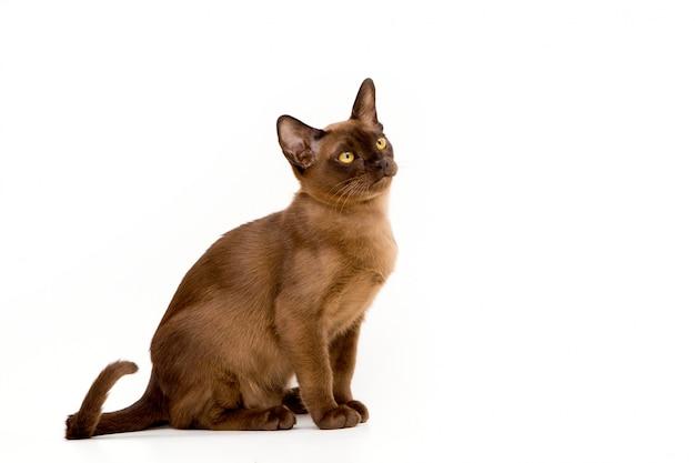 Chat birman. mignon chaton ludique de couleur chocolat. sur fond blanc.
