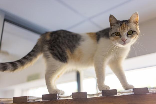 Un chat de birmanie seal point, chaton de 4 mois, mâle grimpe sur la poutre en bois du grenier sous plafond en plaques de plâtre incliné.