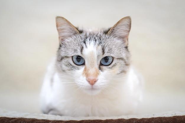 Chat blanc allongé sur le canapé
