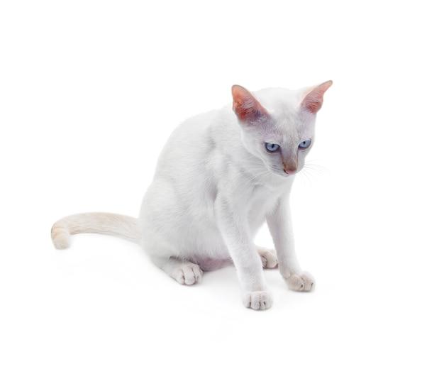 Chat blanc aux yeux bleus sur fond blanc.